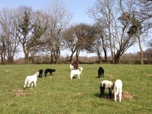 8 lambs