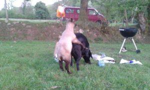 making sheepdogs
